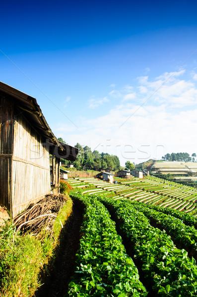 Truskawki pola rano na północ Tajlandia owoców Zdjęcia stock © chatchai