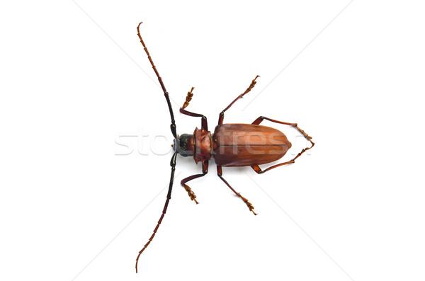 Beetle biały drewna liści zwierząt środowisk Zdjęcia stock © chatchai