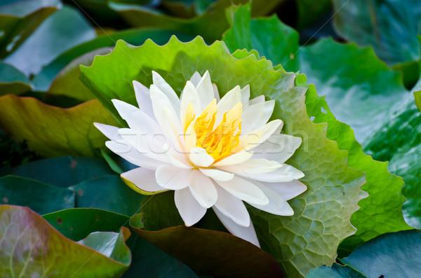 Biały Lotos spokojny staw kwiat piękna Zdjęcia stock © chatchai