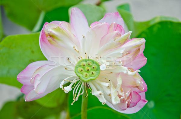 Water lily. Stock photo © chatchai