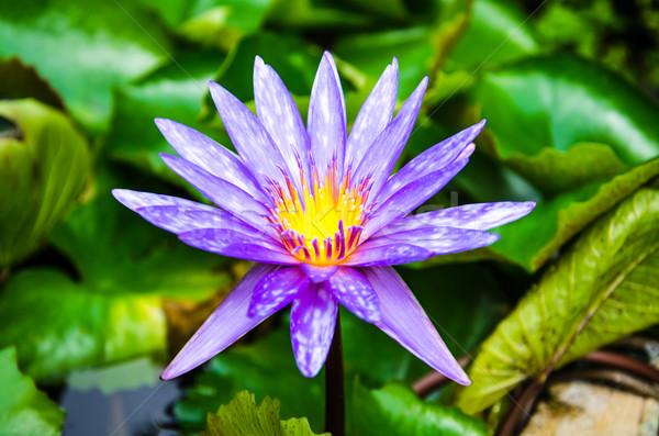 Fioletowy Lotos staw charakter piękna Zdjęcia stock © chatchai