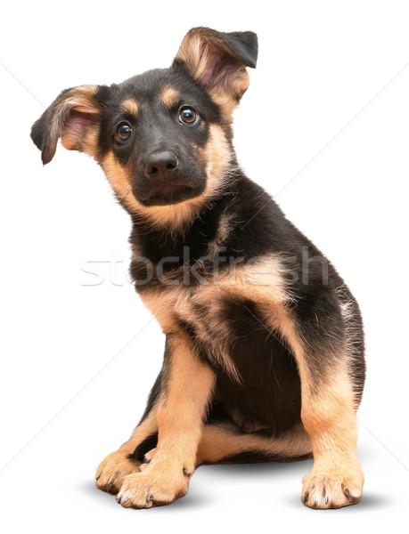Herder hond geïsoleerd witte oog veiligheid Stockfoto © cherezoff