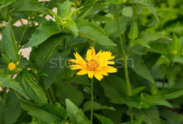 Beautiful yellow flower Stock photo © cherezoff