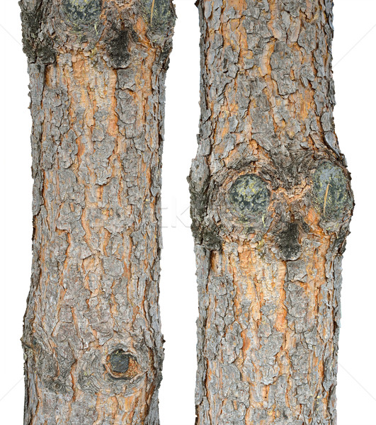 Two pine trunks Stock photo © cherezoff