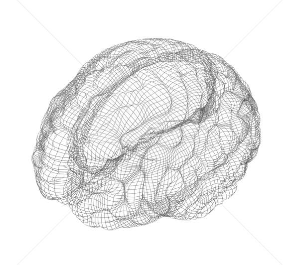 Foto stock: Wireframe · cérebro · região · humanismo · isolado · branco
