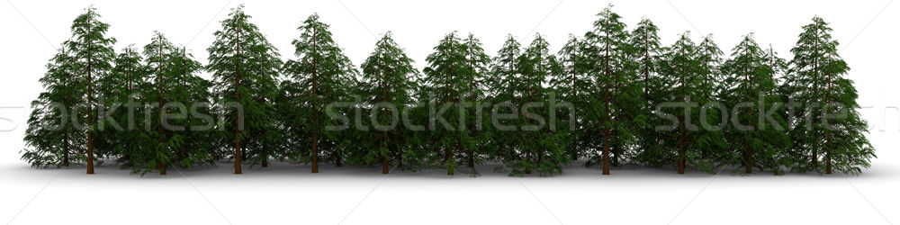 Group of cypress trees on a white background Stock photo © cherezoff