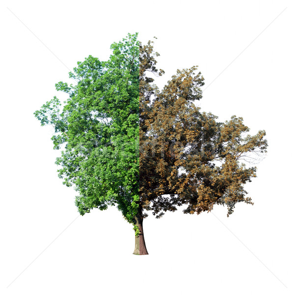 Tree with dying half Stock photo © cherezoff