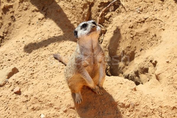 Meerkat looking up Stock photo © cherezoff