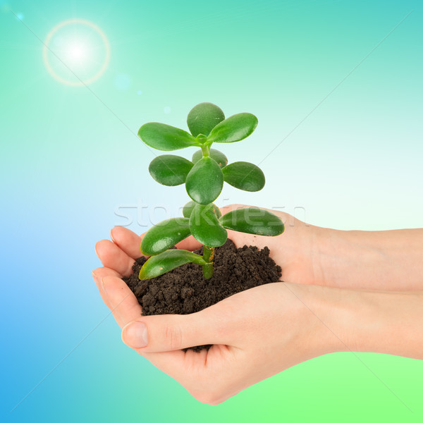 Womans hands holding plant  Stock photo © cherezoff
