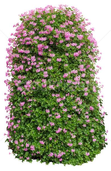 Буш цветы белый изолированный дерево Сток-фото © cherezoff