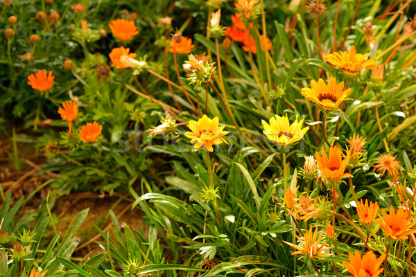Flowers in green grass Stock photo © cherezoff