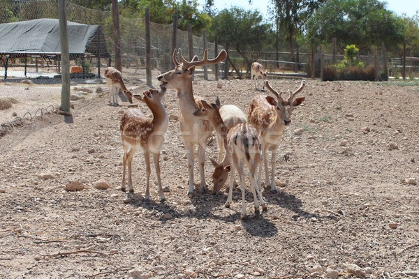 Stock photo: The family of seven sika deer