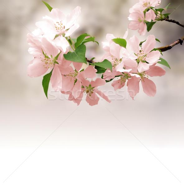 Rosa flores profundo bokeh Foto stock © cherju