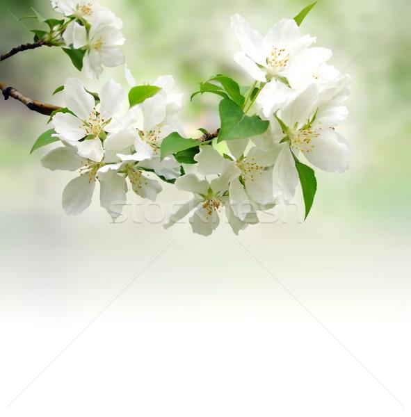Virágzó faág mély bokeh égbolt alma Stock fotó © cherju