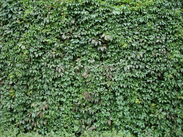 Lierre vert automne arbre été espace Photo stock © cherju