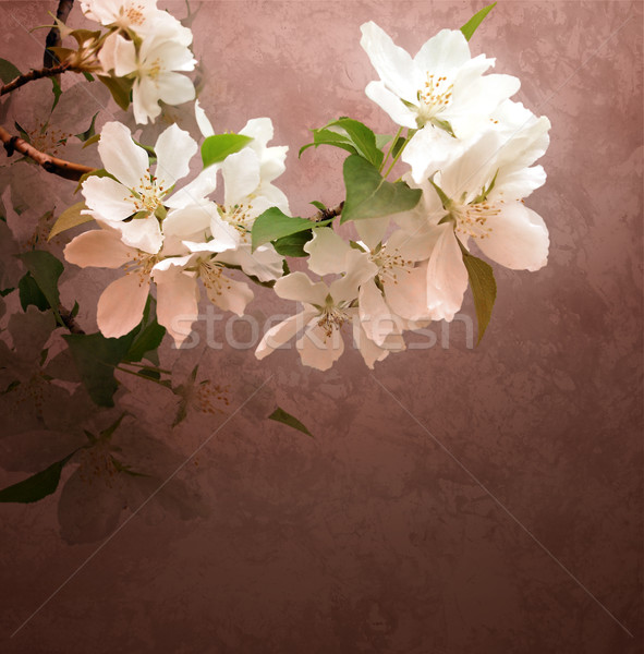 blossoming treewhite flowers  branch on brown dark grunge backgr Stock photo © cherju