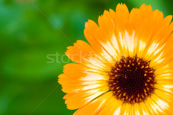 orange unusual marigold flower Stock photo © chesterf