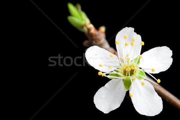white flower of the apple tree Stock photo © chesterf