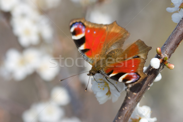 red butterfly on the branch of tree vertical Stock photo © chesterf