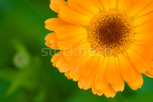 orange closeup marigold flower Stock photo © chesterf