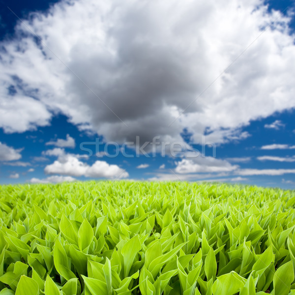 lily of the valley field Stock photo © chesterf