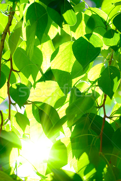 sun shining over the tree crone Stock photo © chesterf