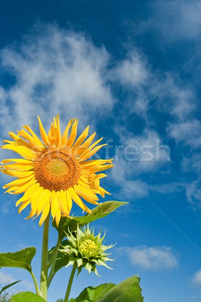 sunflower with blue skies Stock photo © chesterf