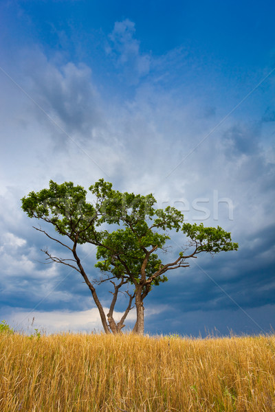 tree in field Stock photo © chesterf