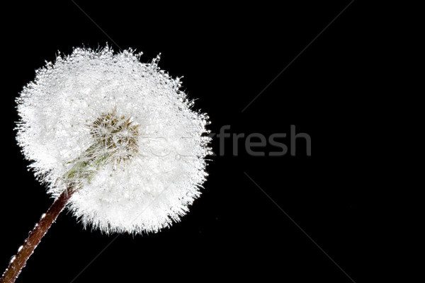 fluffy macro dandelion on black Stock photo © chesterf