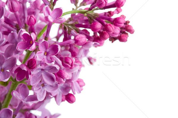 Violeta lila rama blanco espacio de la copia texto Foto stock © chesterf
