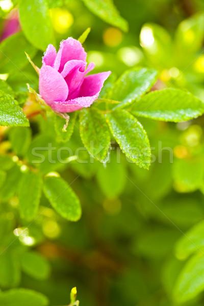 Stock fotó: Vad · kutya · rózsa · rügy · makró · nedves