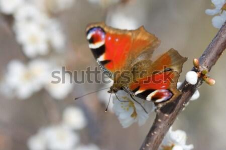Сток-фото: красный · бабочка · филиала · дерево · вертикальный · макроса