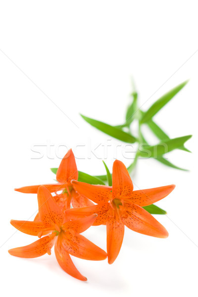 branch with three lily flowers Stock photo © chesterf