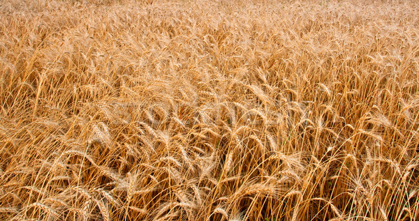 wheat field horizontal Stock photo © chesterf