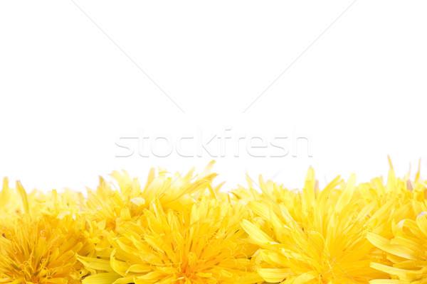 Foto d'archivio: Molti · giallo · denti · di · leone · fondo · posizione · copia · spazio