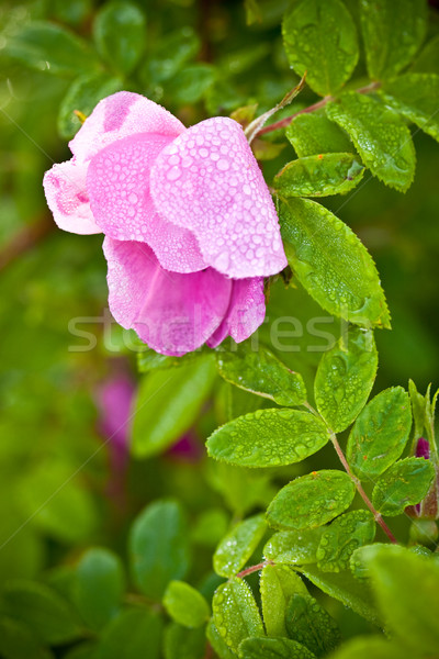 macro wild dog rose Stock photo © chesterf