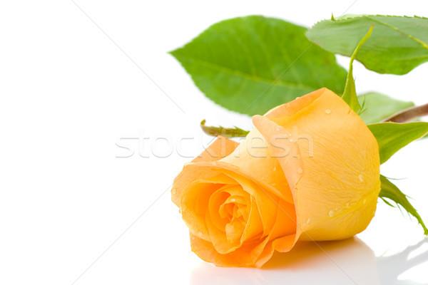 Stock photo: one orange rose