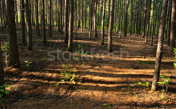 Reggel tűlevelű erdő nyár fa nap Stock fotó © chesterf