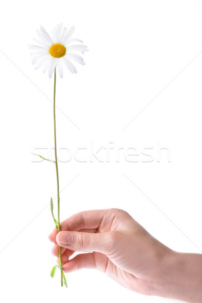one women hand holding chamomile flower Stock photo © chesterf