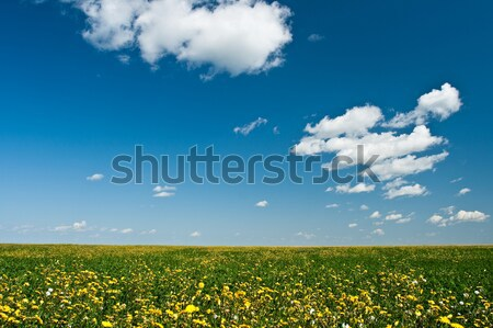 yellow flowers filed Stock photo © chesterf