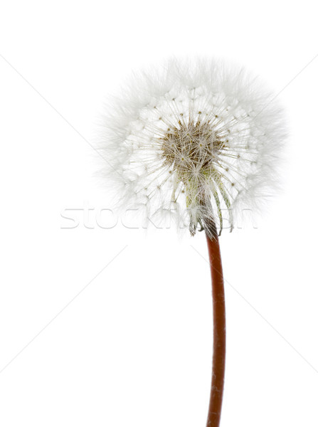 white dandelion Stock photo © chesterf