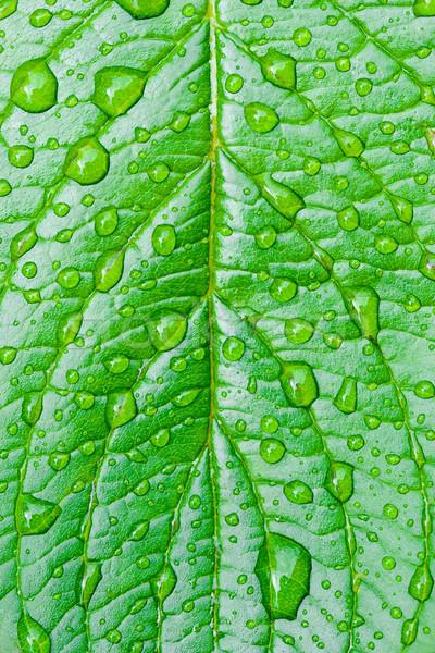 Feuille verte rosée gouttes vert macro feuille Photo stock © chesterf