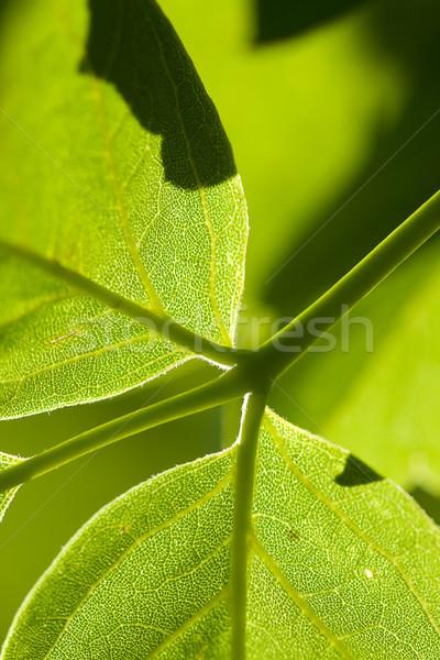 Stock photo: macro green leaf background