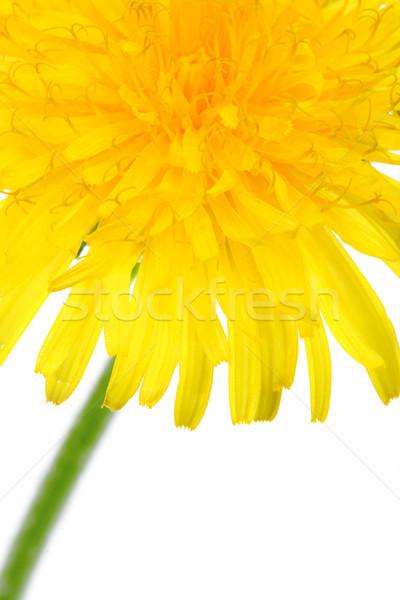 part of dandelion flower Stock photo © chesterf