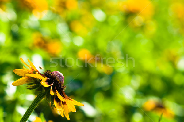 one yellow flower background Stock photo © chesterf