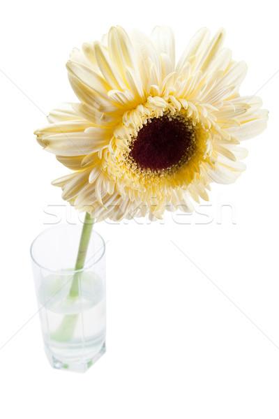 yellow gerbera flower Stock photo © chesterf