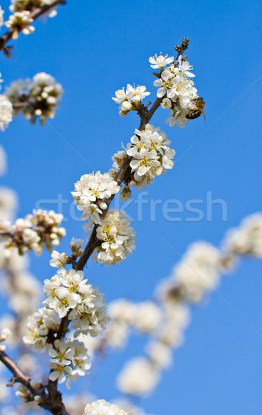 şube elma ağacı oturma arı gökyüzü bahar Stok fotoğraf © chesterf