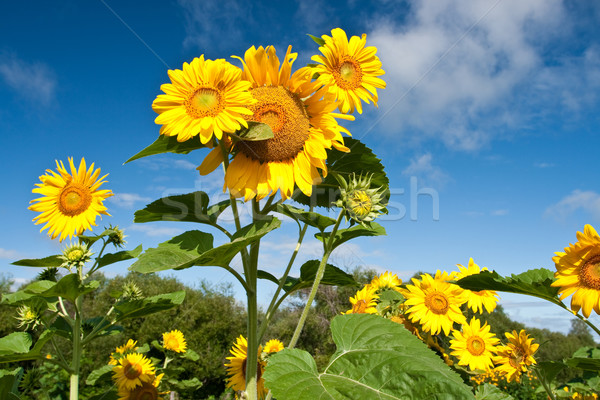 sunflowers Stock photo © chesterf