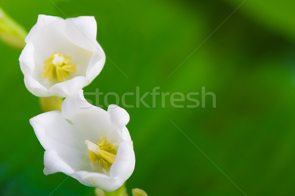 Makró virágok liliom völgy zöld levél copy space Stock fotó © chesterf