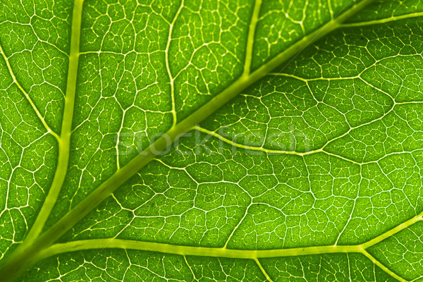 macro green leaf vein Stock photo © chesterf